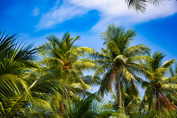 Coconut palm tree perspective view