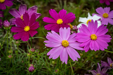 Magenta chrysanthemum flowers
