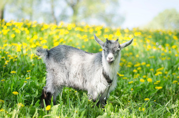 Gray goat grazing in a meadow, a pasture, a field of dandelions in the spring