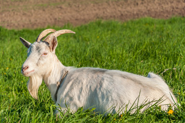 adult goat has peacefully a rest lying on a green meadow on a leash