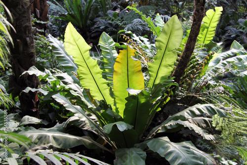 tropischer regenwald pflanzen nestfarn riesenfarn stockfotos und lizenzfreie bilder auf. Black Bedroom Furniture Sets. Home Design Ideas
