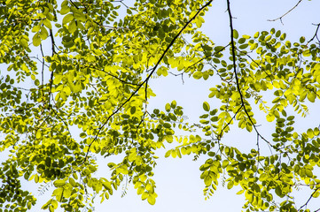 Bastard acacia leaves in spring time, robinia pseudacacia, Austr