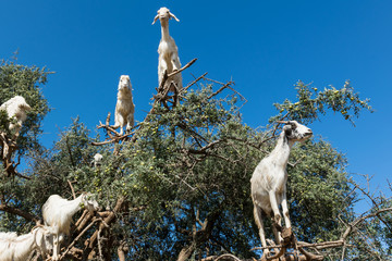 Argan trees and the goats on the way between Marrakesh and Essaouira in Morocco. Argan Oil is produced by using the seeds of the trees, and the oil is used for cosmetics,beauty products and skin care.