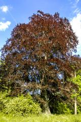 Bloodbeech tree, Czech Republic, Southern Morava, Lednice