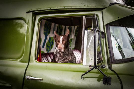 Australian Kelpie Dog