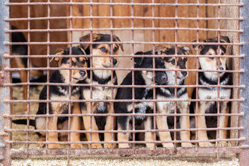 Fototapeta Many puppy dogs locked in the cage waiting for adoption