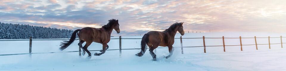 Panorama zwei Pferde - Westfalen - laufen im Schnee in den Sonnenuntergang