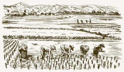 Asian farmers working on Field. Hand drawn illustration. Rice ha
