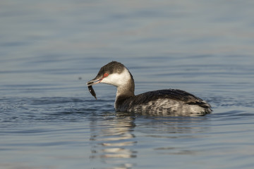 Horned Grebe With Fish