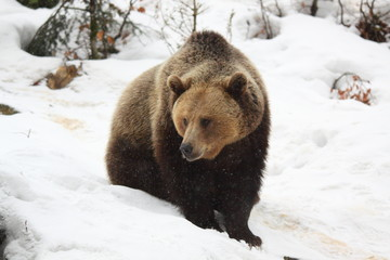 Brown bear into the snow