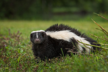 Fototapete - Striped Skunk (Mephitis mephitis) Looks Out from Ground
