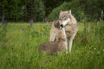 Fototapete - Grey Wolf (Canis lupus) Greeted by Pup