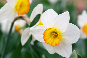 Photo sur Toile Narcisse White narcissus growing in the garden. Narcissus poeticus