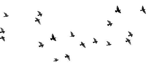 Photo sur Aluminium Oiseau flock of pigeons on a white background