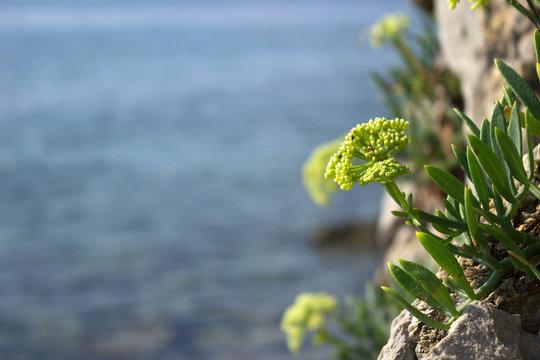 Samphire Crithmum maritimum plant in Mediterranean. Green flower