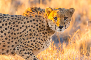 Cheetah in the Etosha National Park, Namibia