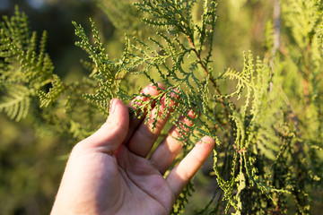 Thuja in hand on nature