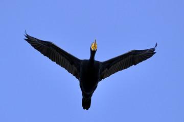 Phalacrocorax carbo / Grand cormoran