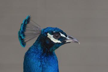 Blue peafowl (Pavo cristatus) portrait.