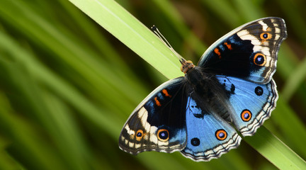 Butterfly, Butterflies feed on green leaf, Blue Pansy ( Junonia orithya )