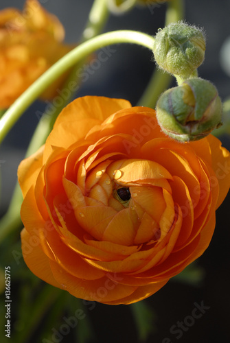 ranunculus asiaticus renoncule des fleuristes fotos de archivo e im genes libres de derechos. Black Bedroom Furniture Sets. Home Design Ideas