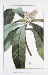 Vélin de Redouté / Mespilus japonica / Néflier du Japon
