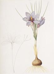 Illustration botanique / Crocus sativus / Safran