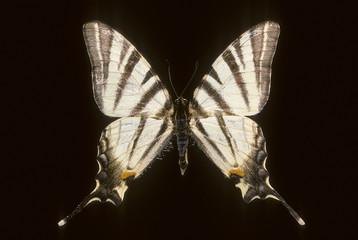 Iphiclides podalirius / Flambé