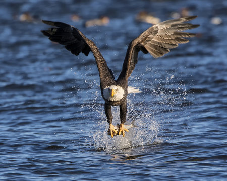 Bald eagle rips it's meal from the frigid water