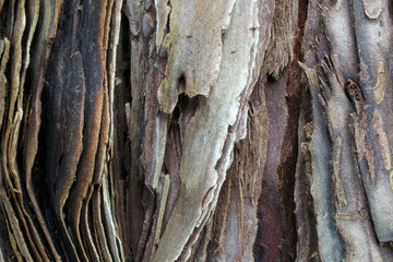 The bark of a young coastal redwood tree, Sequoia sempervirens, partly covered with moss- texture or background