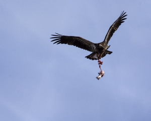 Bald eagle dangling the bones and wings of a seagull