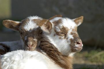 Mouton / Agneau