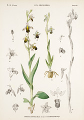 Illustration boatanique / Ophrys apifera / Ophrys abeille