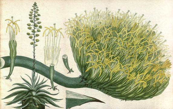 Illustration botanique / Agave americana  / Agave américain
