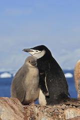 Pygoscelis antarcticus / Manchot à jugulaire