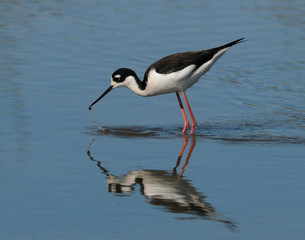 Stilt with reflection in lake bending over to collect critter from water