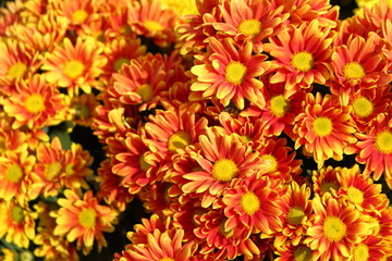 Chrysanthemum yellow and red natural beauty.