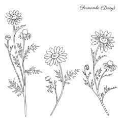 Chamomile wild field flower isolated on white background botanical hand drawn daisy sketch vector doodle illustration for design package tea, organic cosmetic, natural medicine, greeting card, wedding