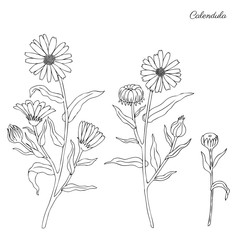 Calendula flower isolated on white background, botanical hand drawn doodle sketch marigold, vector illustration for design package tea, cosmetic, natural medicine, greeting card, wedding invitation