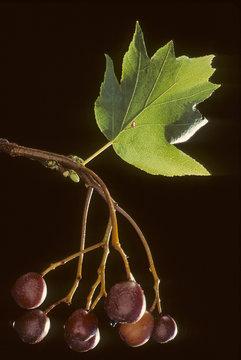 Sorbus torminalis / Alisier torminal
