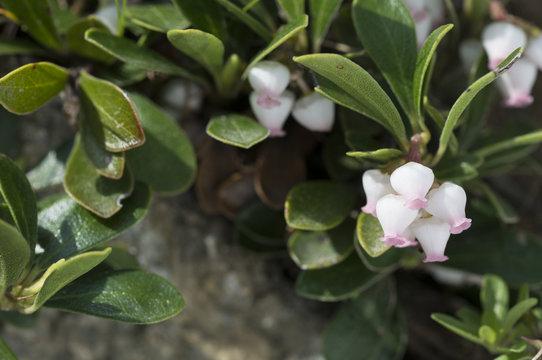 Arctostaphylos uva-ursi/ Busserole