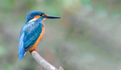 Deurstickers Vogel Common Kingfisher