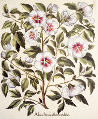 Illustration botanique / Hibiscus syriacus / Althéa