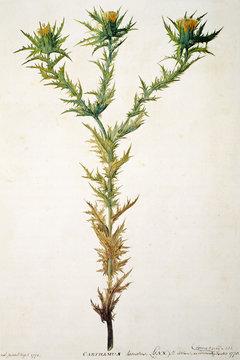Illustration / Carthamus lanatus / Carthame