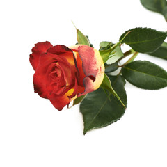 Single yellow red rose isolated