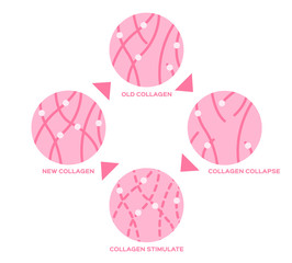 life cycle of the collagen in human skin vector