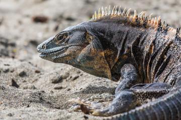 Black ctenosaur turning on the beach