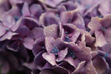雨に濡れた紫陽花の花びら