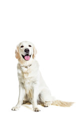 Labrador Retriever on white background
