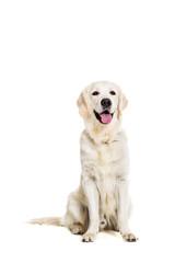 Labrador Retriever on white background
